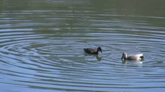 Amid Nature - Bottoms Up!  Pair of Ducks Bobbing for Food. Stock Footage
