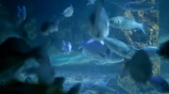 Gilt head sea breams Stock Footage