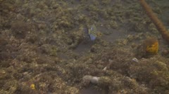 Striped surgeonfish Stock Footage