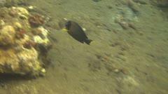 Yellowfin surgeonfish - stock footage