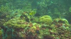 Golden damsel Stock Footage