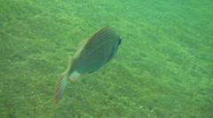 Slender grouper Stock Footage