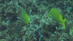 Foxface rabbitfish Stock Footage