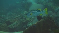 Indonesian Sweetlips Stock Footage