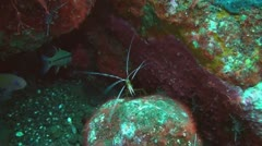 Pacific Cleaner Shrimp Stock Footage