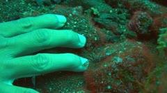 Durban hinge-beak prawn - stock footage