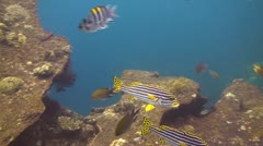 Striped Sweetlips Stock Footage
