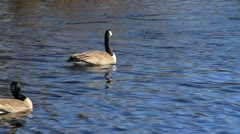 Canadian Geese in Water 04 - stock footage