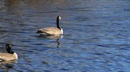 Canadian Geese in Water 04 Stock Footage