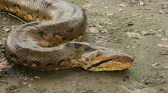 Big Anaconda - stock footage