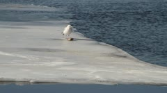 Seagul Picking at Dead Fish on Ice - stock footage