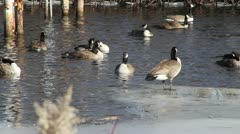 Canadian Geese in Water 03 - stock footage