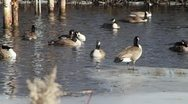 Canadian Geese in Water 03 Stock Footage