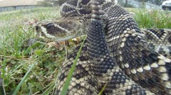 Eastern Diamondback Rattlesnake Stock Footage
