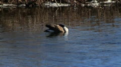 Single Goose in Water - stock footage
