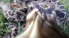 Rattlesnake Strike - stock footage