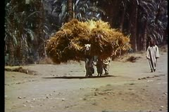 Fayoum Oasis, wide shot, camel with huge load of hay atop, boy leads Stock Footage