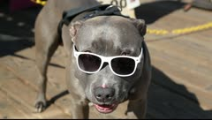 Big gray dog with sunglasses in white frame in Santa Monica, Los Angeles Stock Footage