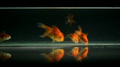 Goldfish Swimming, Eating Stock Footage