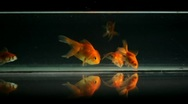 Stock Video Footage of Goldfish Swimming, Eating