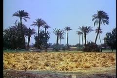 Fayoum Oasis, field with palm trees and stacks of hay Stock Footage