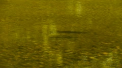 Large brown trout swimming Stock Footage