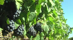 Red grapes in a vineyard Stock Footage