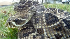 Stock Video Footage of Rattlesnake Bite