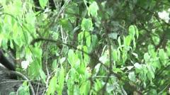 HD wild mantled howler monkey (Alouatta palliata) 14 in the wild  Stock Footage