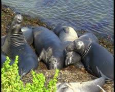 Elephant Seals V2 - PAL Stock Footage