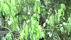 HD wild mantled howler monkey (Alouatta palliata) 10 Howling and eating in wild - stock footage