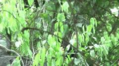 HD wild mantled howler monkey (Alouatta palliata) 13 in the wild  Stock Footage