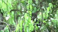 HD wild mantled howler monkey (Alouatta palliata) 11 Howling in the wild  Stock Footage