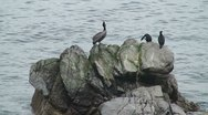 Stock Video Footage of CA Montery Birds on Rocks 1