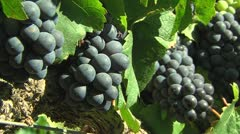 bunches of grapes in a vineyard - stock footage