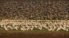 snow geese - stock footage
