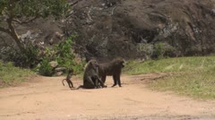 Olive baboons - stock footage