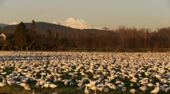 Snow geese and Mt Baker Stock Footage
