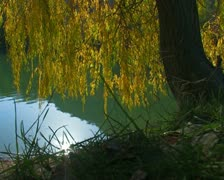 Willow by the lake.  #58 Stock Footage