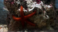 Red starfish Stock Footage