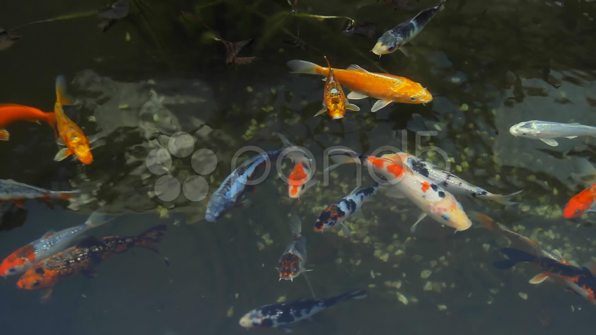 Koi fish pond overhead view hd stock video 10739605 for Koi fish to pond ratio