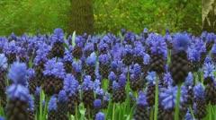 Grape hyacinths Stock Footage