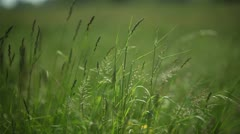 Close-up of blowing blade of grass; Full HD Photo JPEG Stock Footage