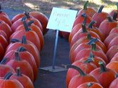 Stock Video Footage of Pumkins for Sale