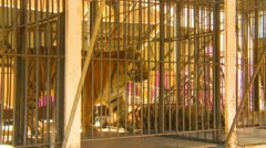 circus tiger in cage excretes scent from glands - stock footage