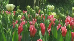 Stock Video Footage of Mixed tulips