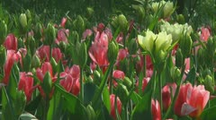 Mixed tulips - stock footage