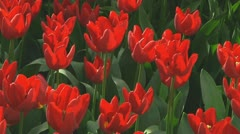 Red tulips - stock footage