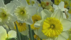 Mixed daffodils - stock footage