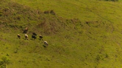 Agriculture, small cattle herd moving across valley floor zoom Stock Footage